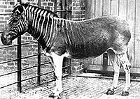 A female quagga in a London Zoo in 1870. Source: http://en.wikipedia.org
